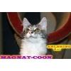 Котята Гиганты породы Мейн Кун